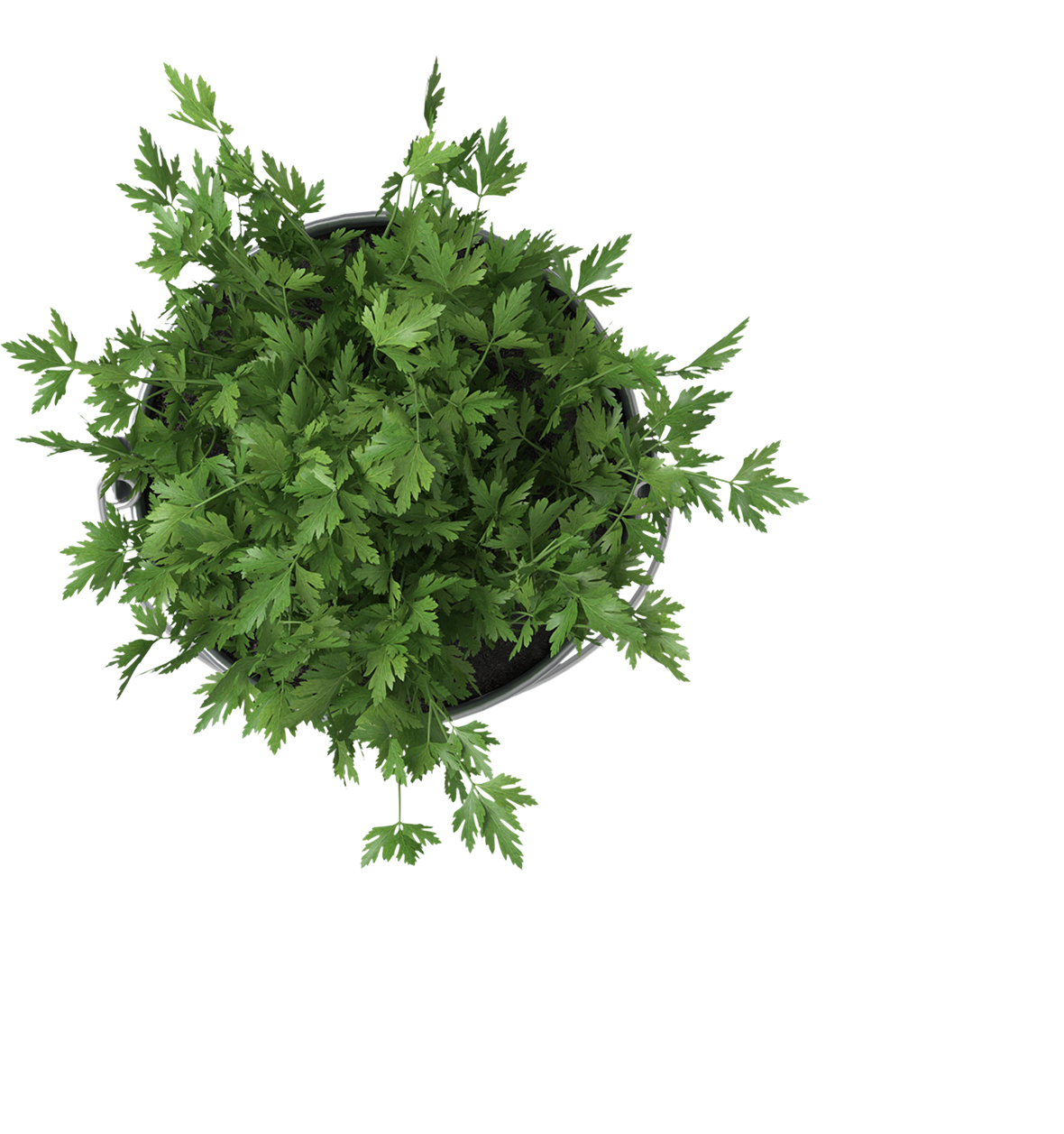 parsleyfromtop