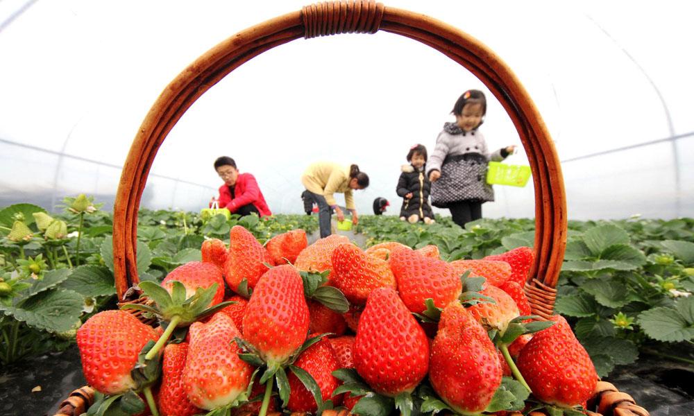 草莓采摘01