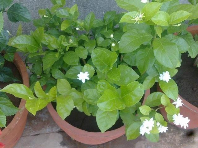 茉莉盆栽1