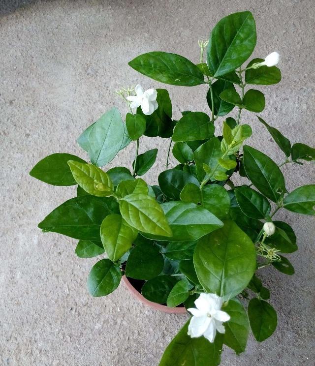 茉莉盆栽2