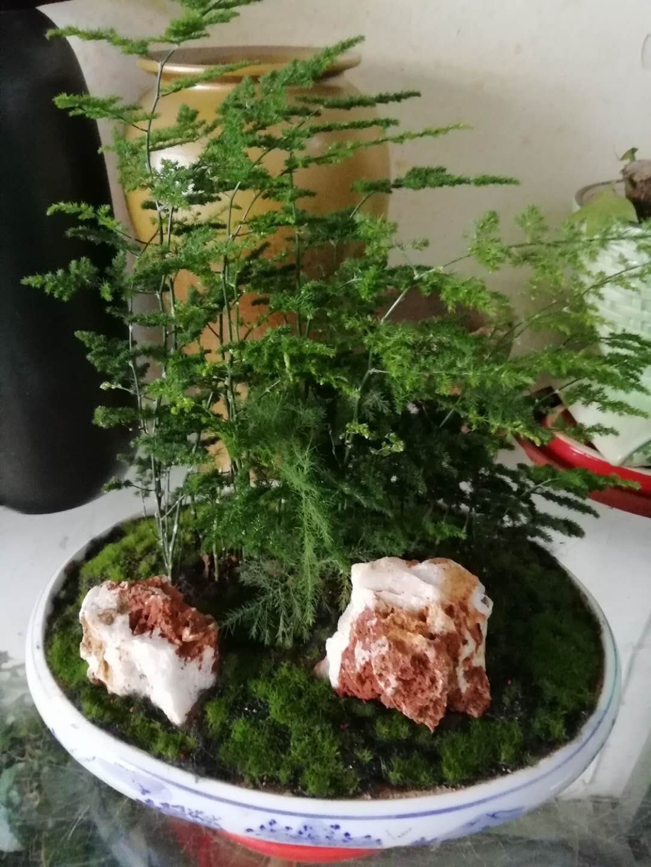 文竹小盆栽