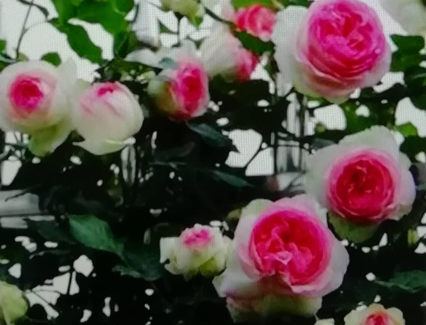 粉色龍沙寶石