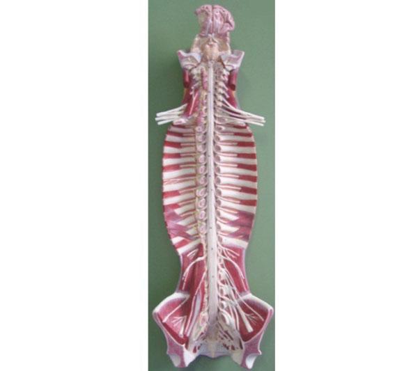 功能特点:     该模型显示脑和脑神经,椎管内脊髓和脊神经等结构.