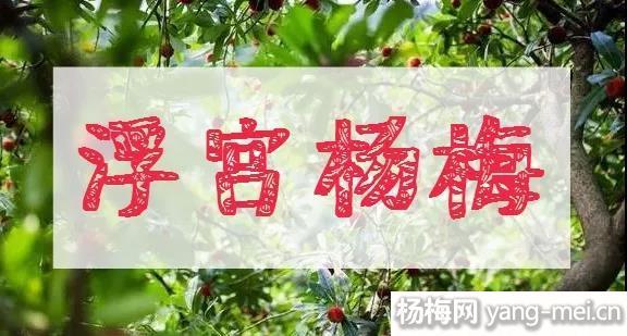 浮宫杨梅1