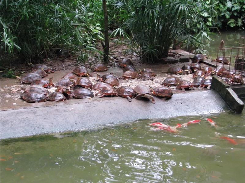 冬眠后的金钱龟惬意悠然地享受美食