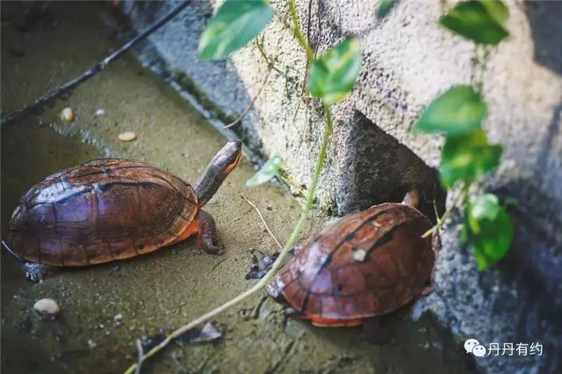 李藝養殖的金錢龜