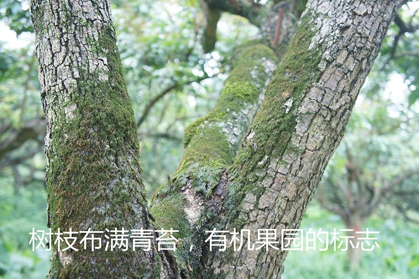 3大同有機桂園樹
