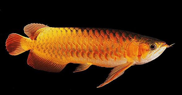【风水鱼】养哪一种鱼,养什么颜色的鱼更