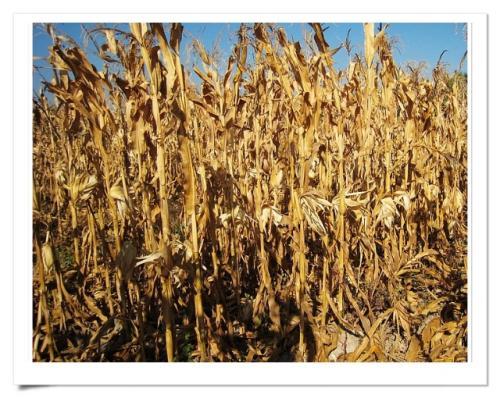 玉米betway手机平台网