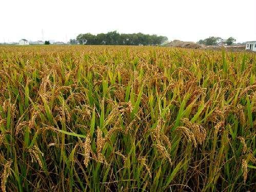 水稻betway手机平台网