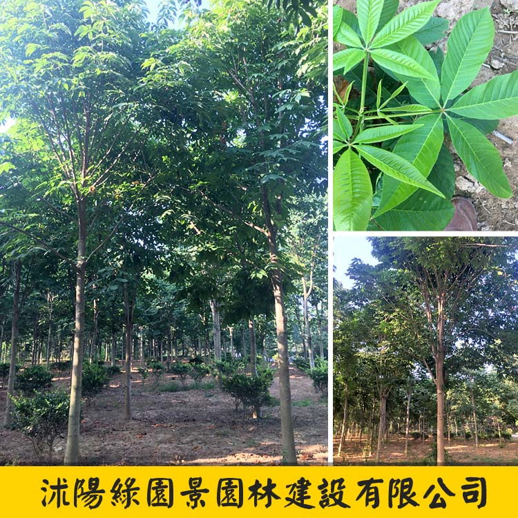 白花七叶树-1