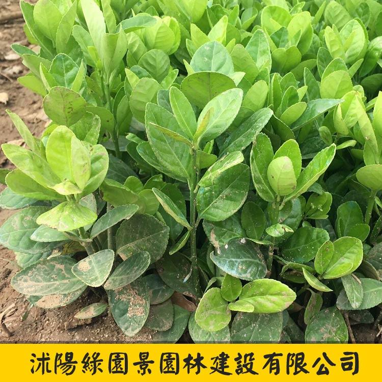 北海道黄杨小苗-1
