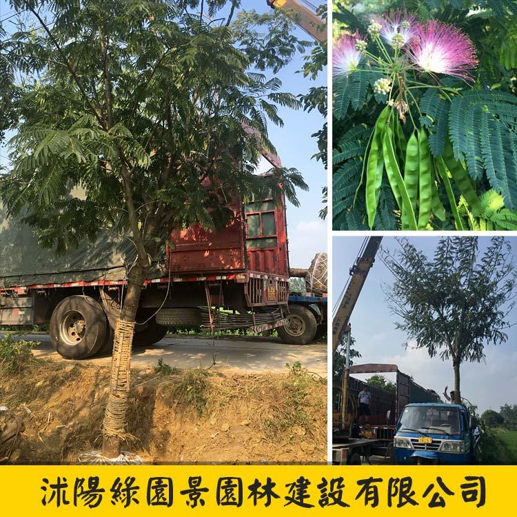 合欢绒花树-4