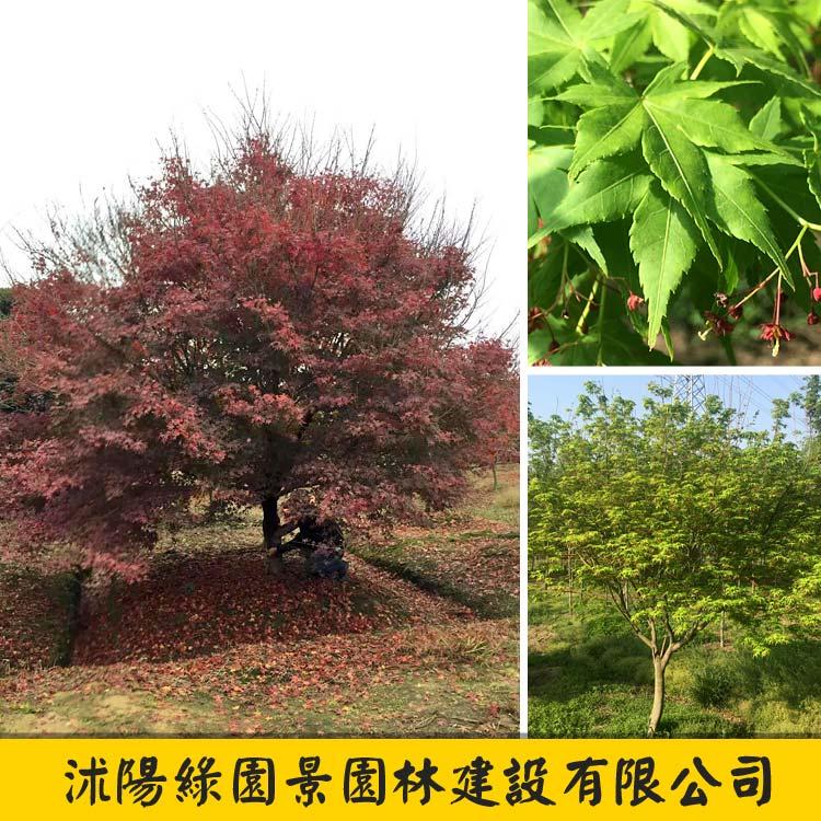 鸡爪槭-1