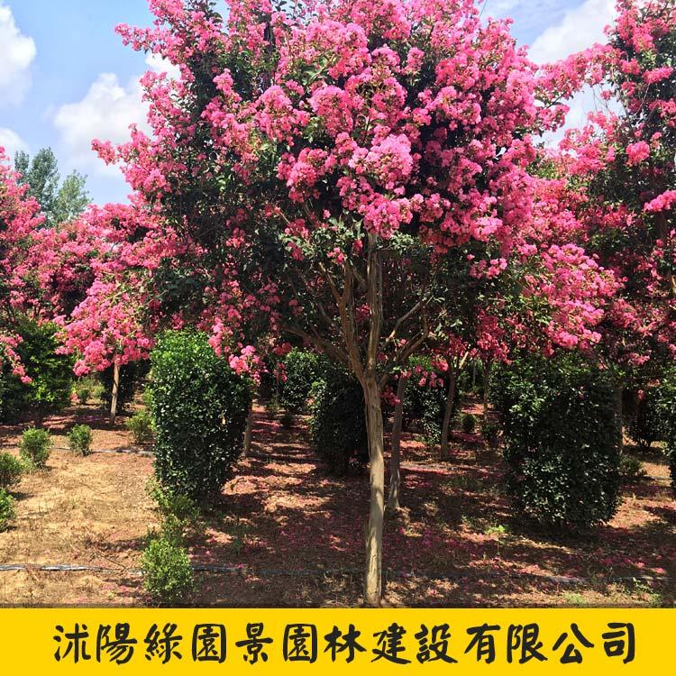 红花紫薇-1