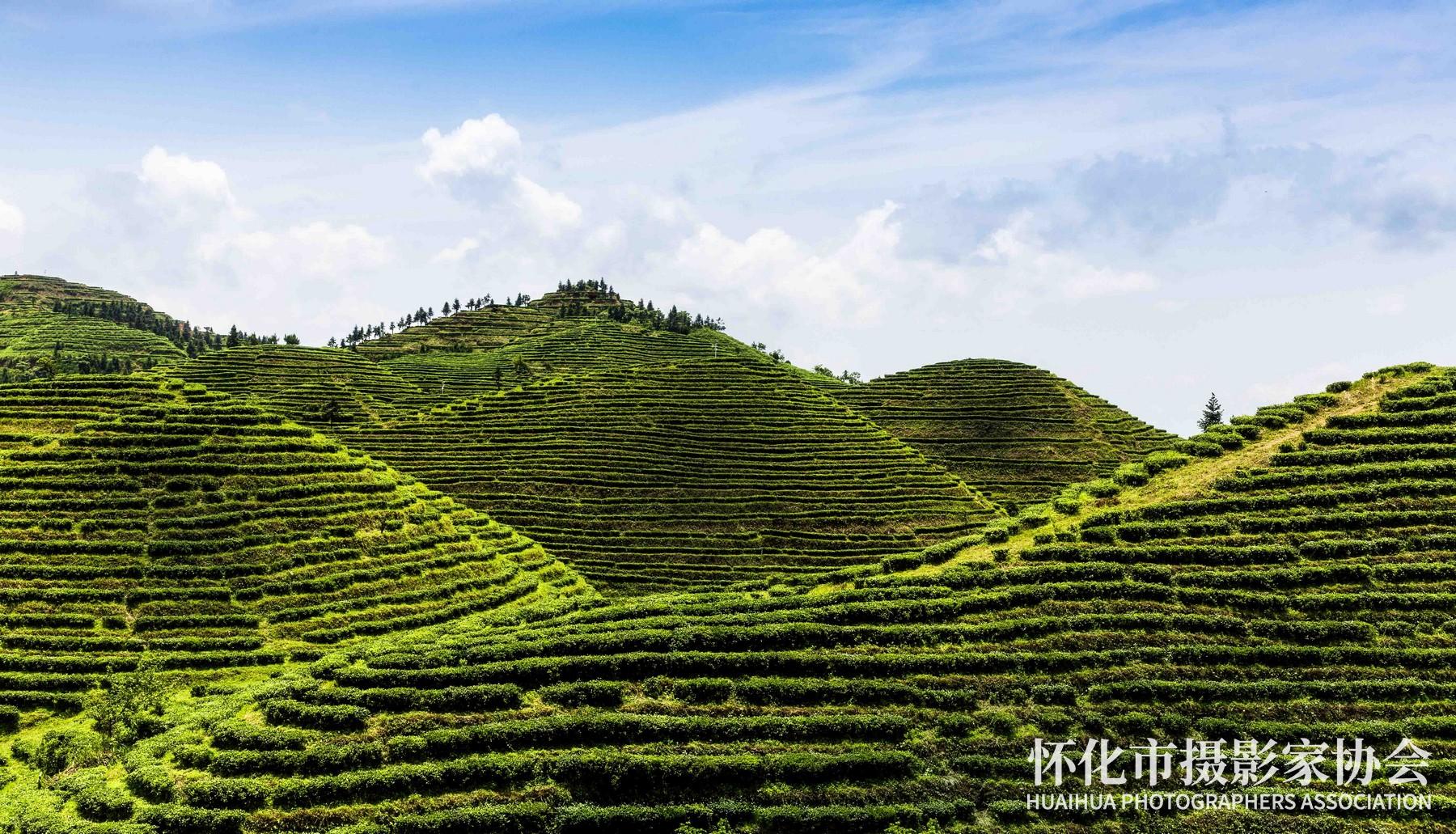 茶山叠翠----杨义高-摄于宝田茶场电话18244860655