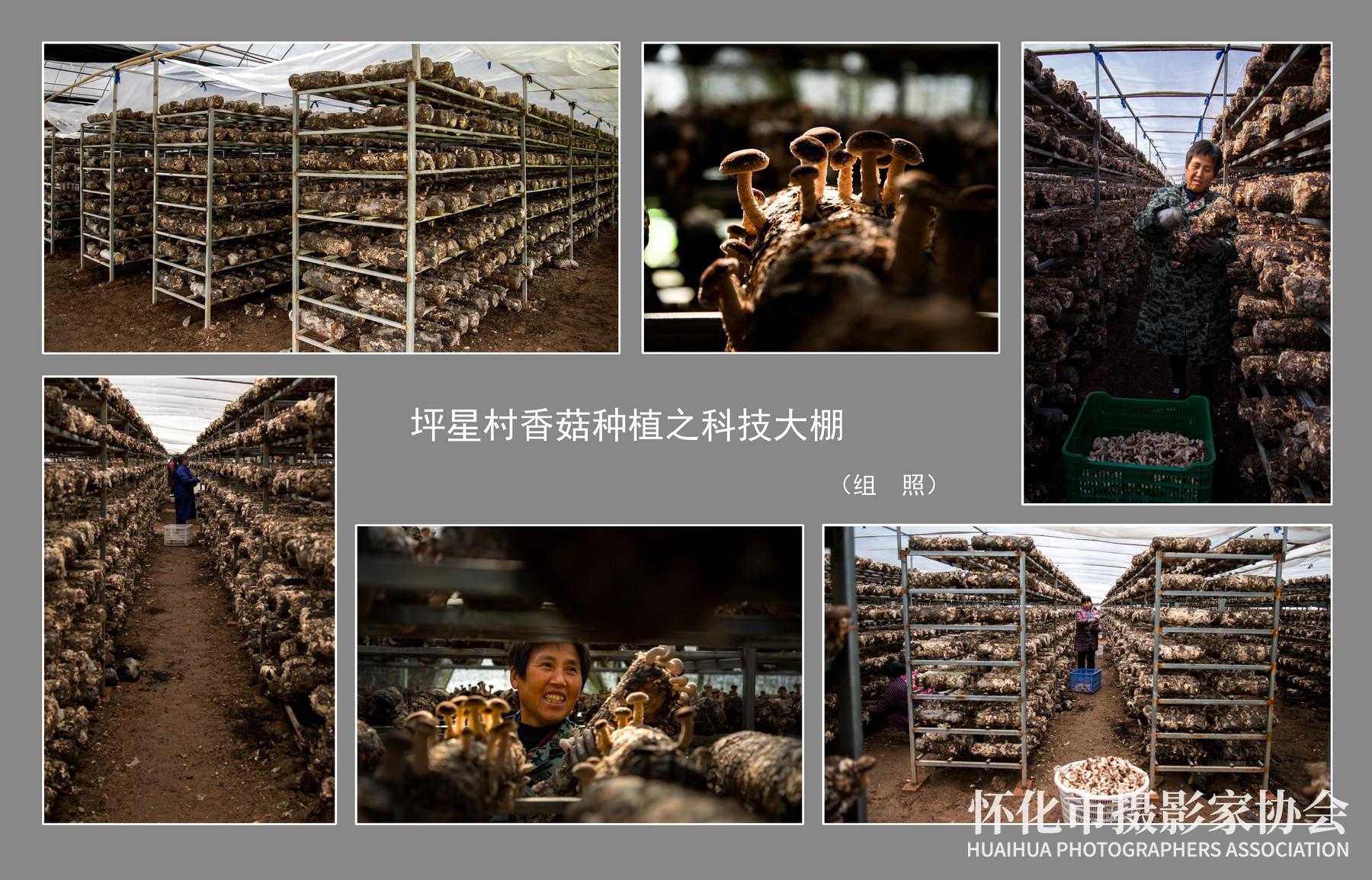 《坪星村香菇种植之科技大棚》周惠瑛