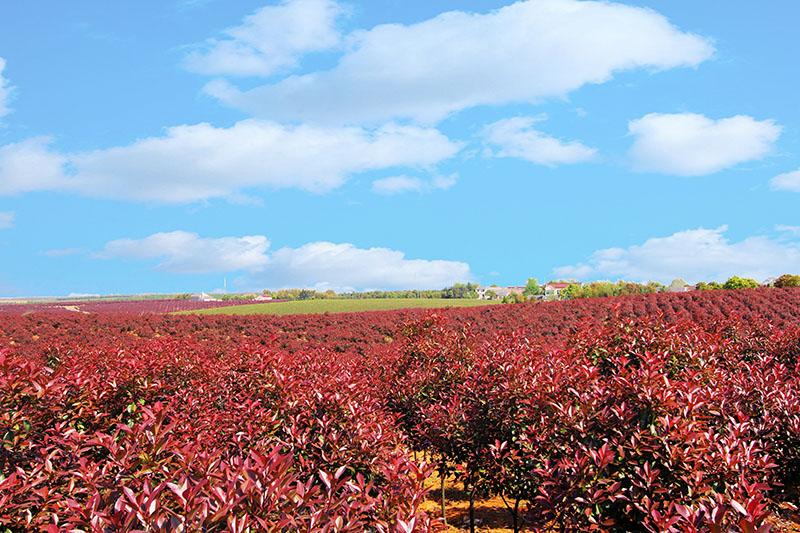 十字铺茶场红叶石楠苗木基地