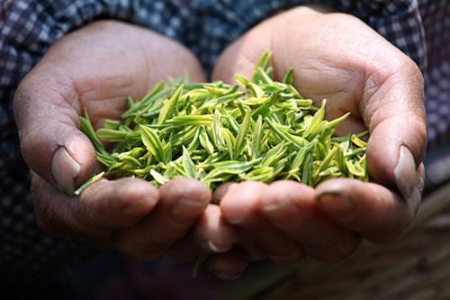 太湖翠竹屬于什么茶
