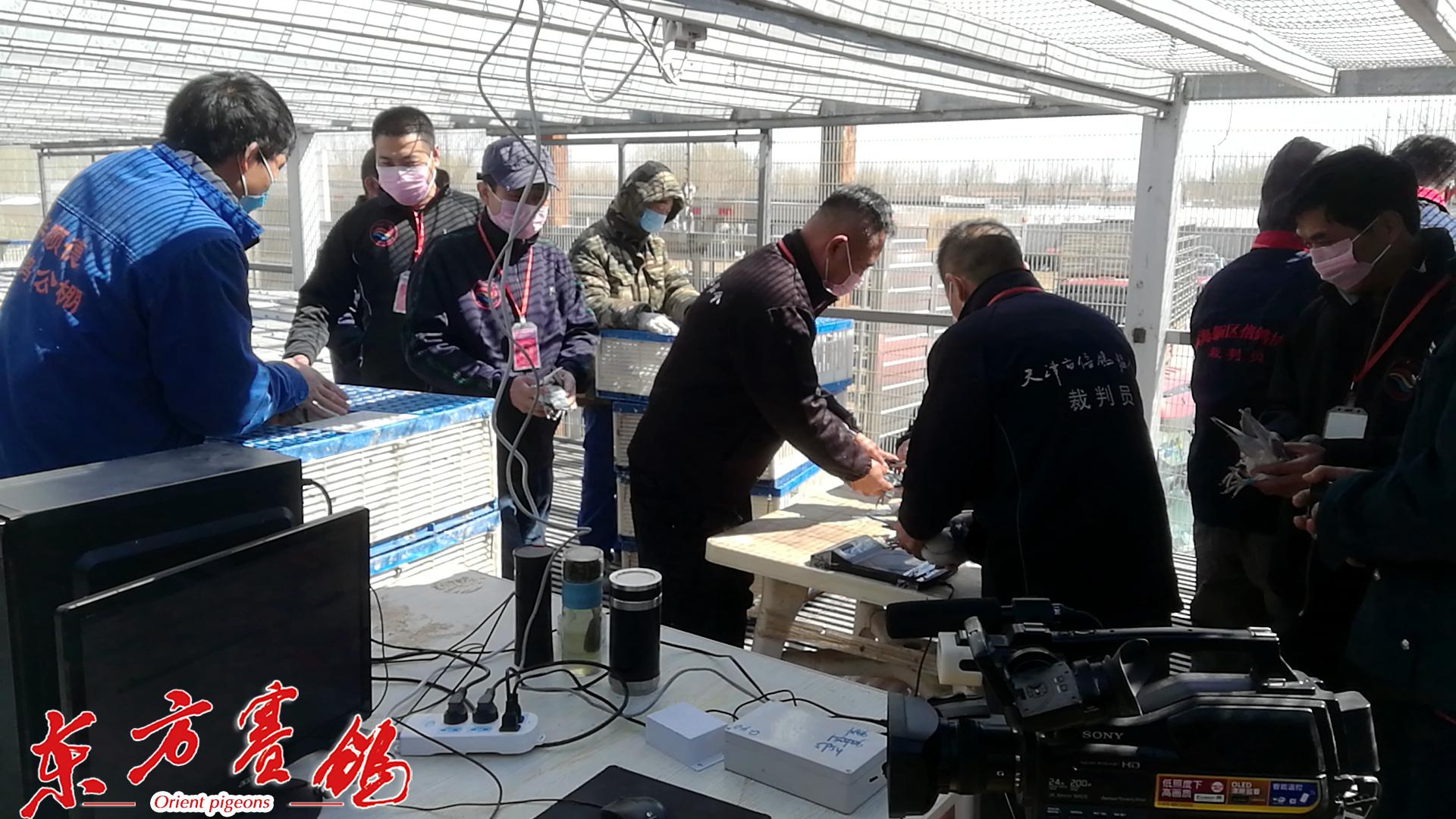 3、天津市信鸽协会裁判员在验鸽。