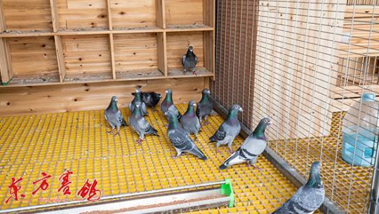 04、鸽舍中的种鸽