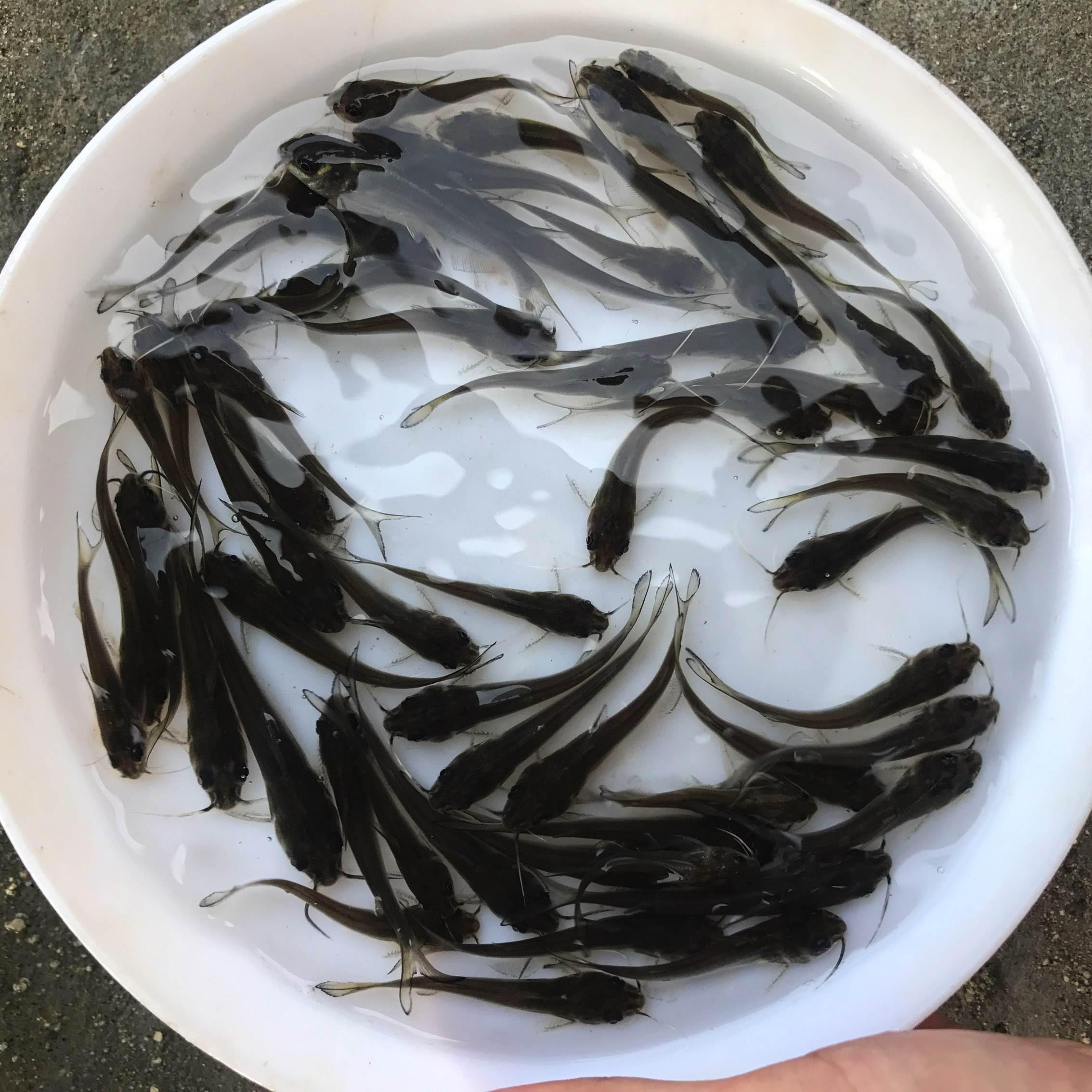 叉尾鱼苗1