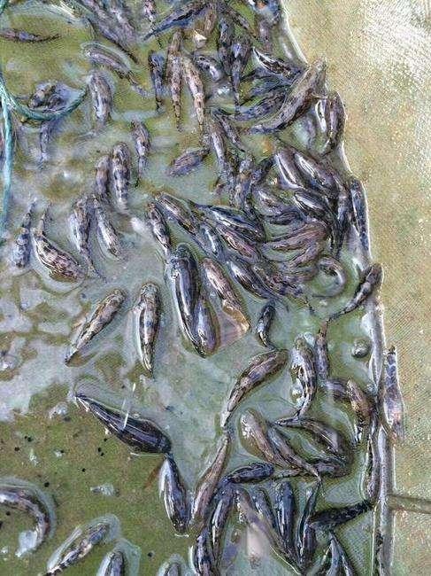 笋壳鱼苗4