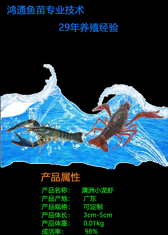 澳洲小龙虾1