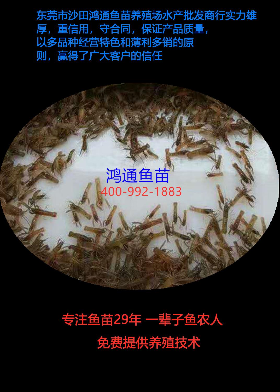 澳洲小龙虾4