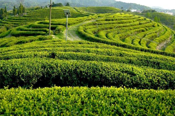 531茶葉種植