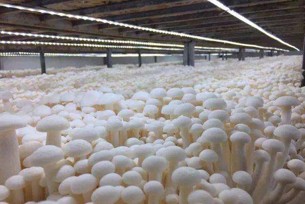 531蘑菇種植