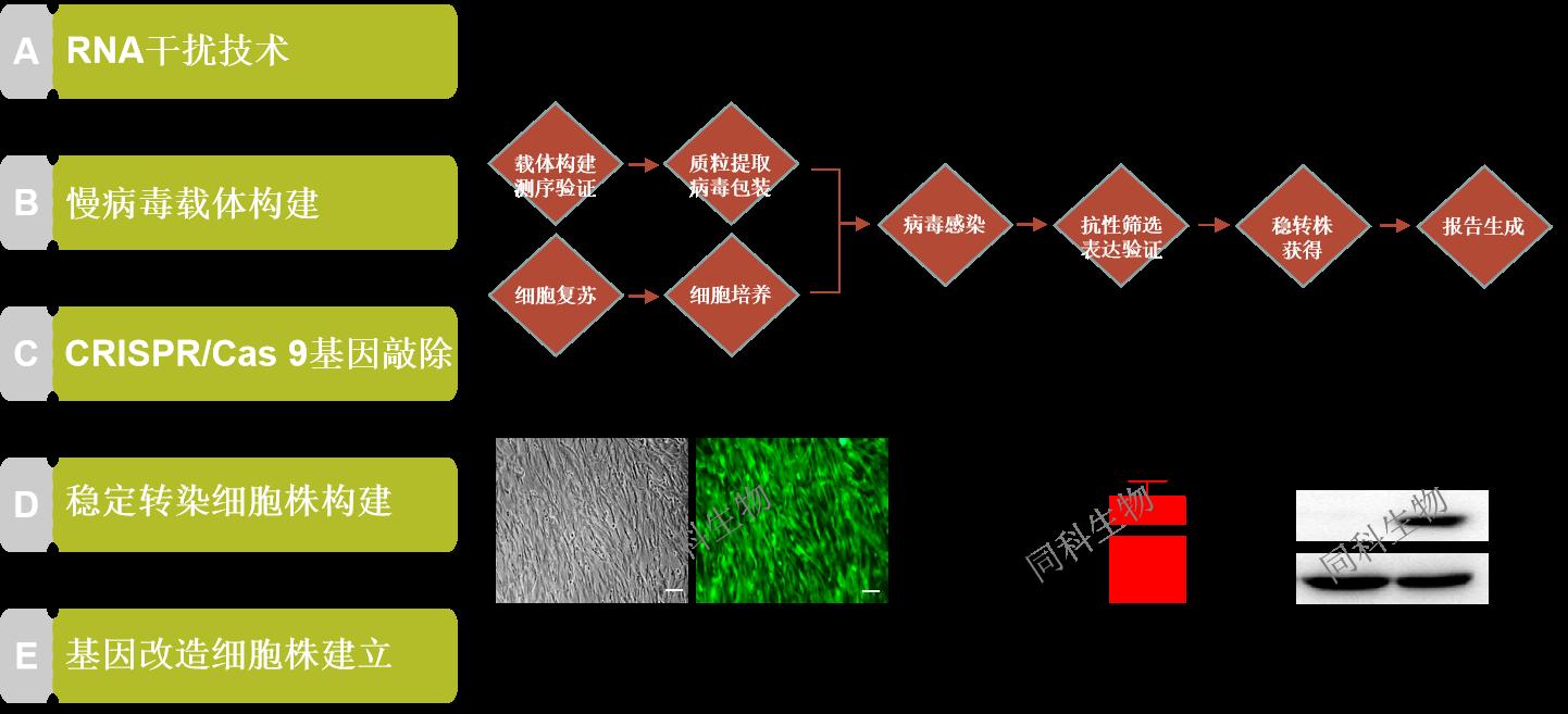 細胞基因調控服務