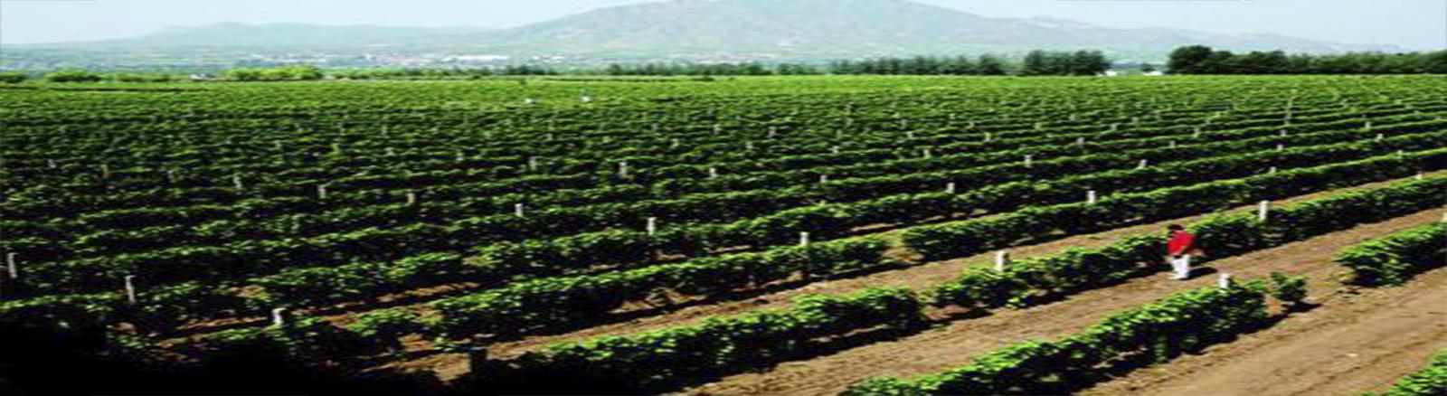 亞太公司葡萄種植基地