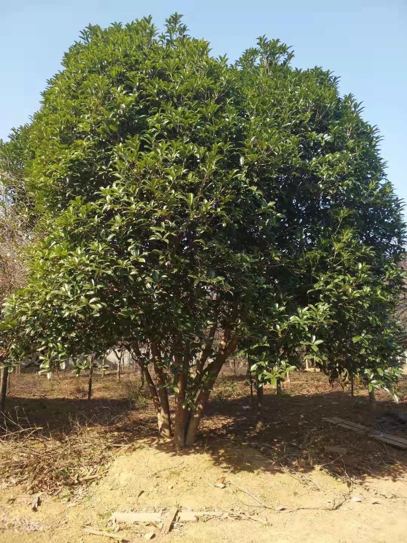 叢生桂花樹20公分