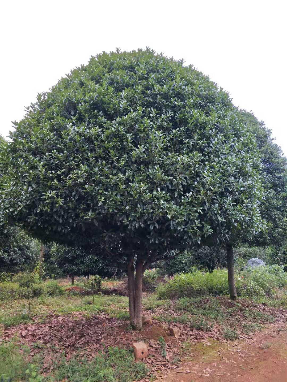 廣西低分枝桂花樹25公分