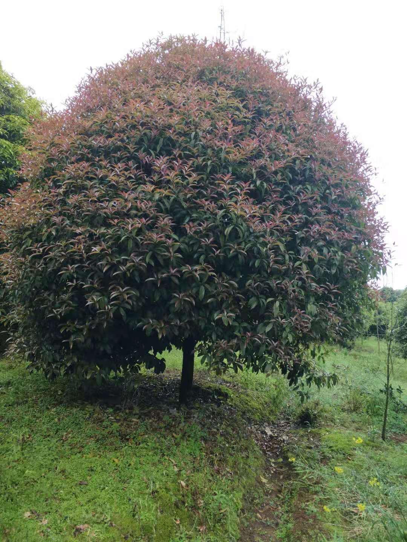 廣西桂花樹15公分