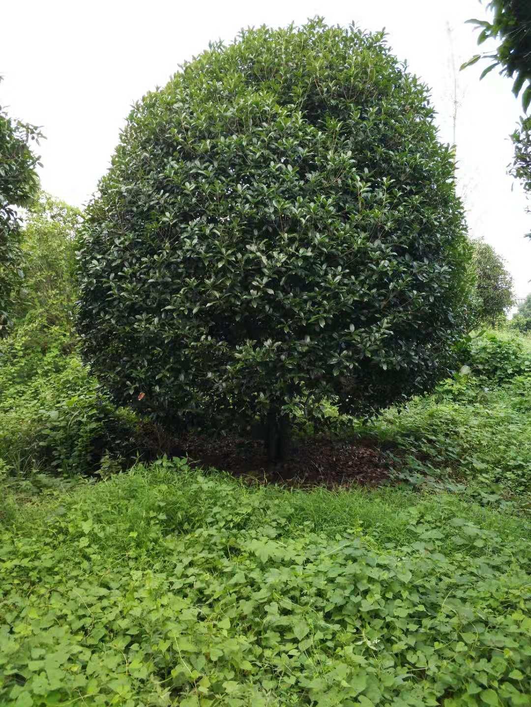廣西桂花樹18公分