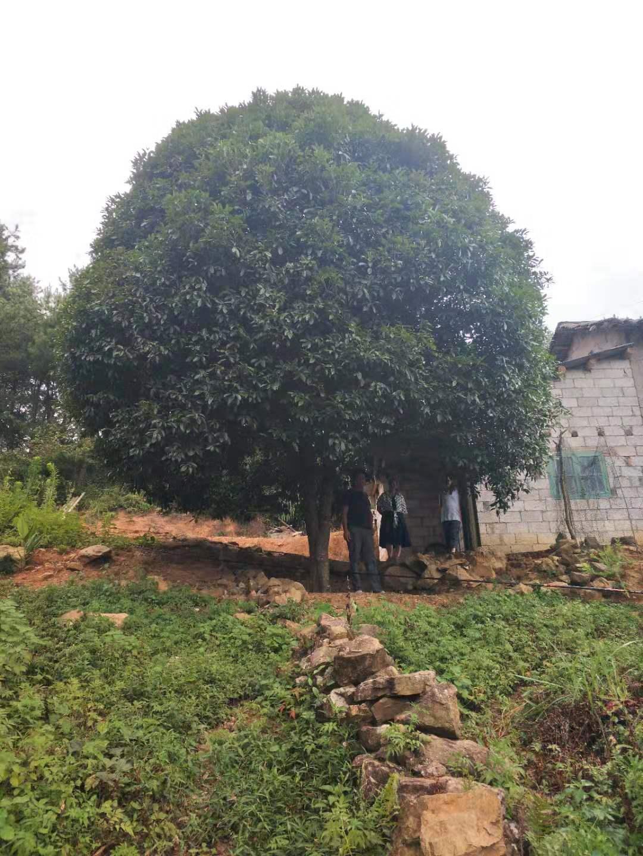 廣西桂花樹30公分