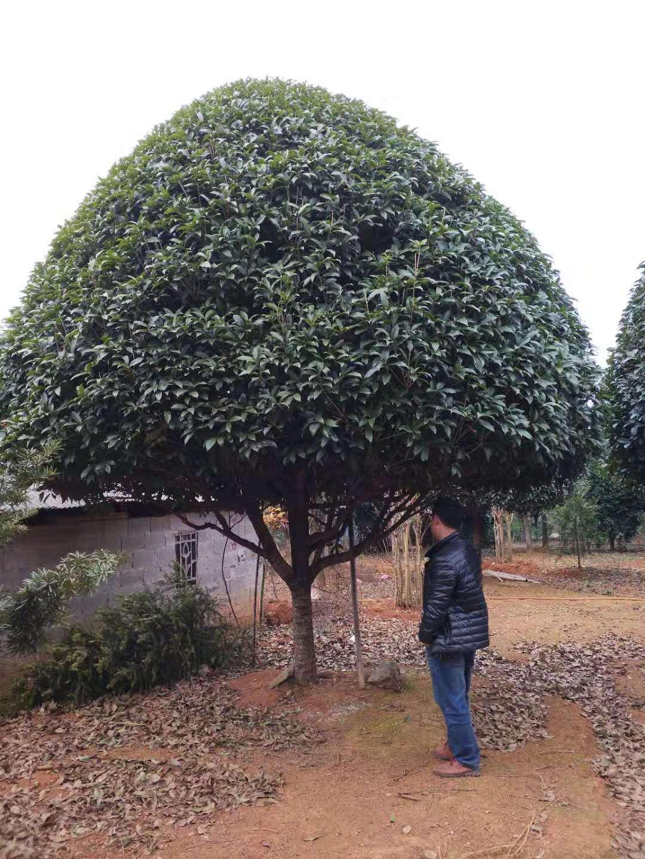 精品桂花樹20公分