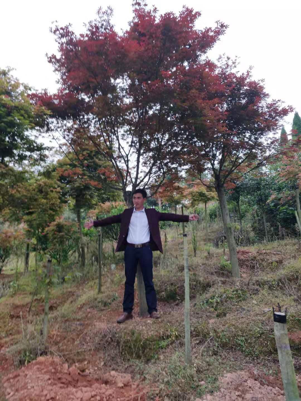 廣西紅楓12公分