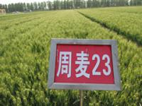 國審周麥23