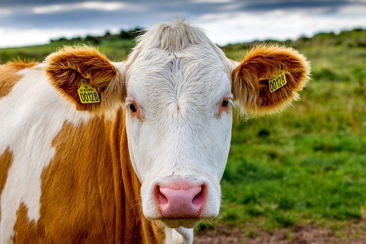 cow-2710083__480