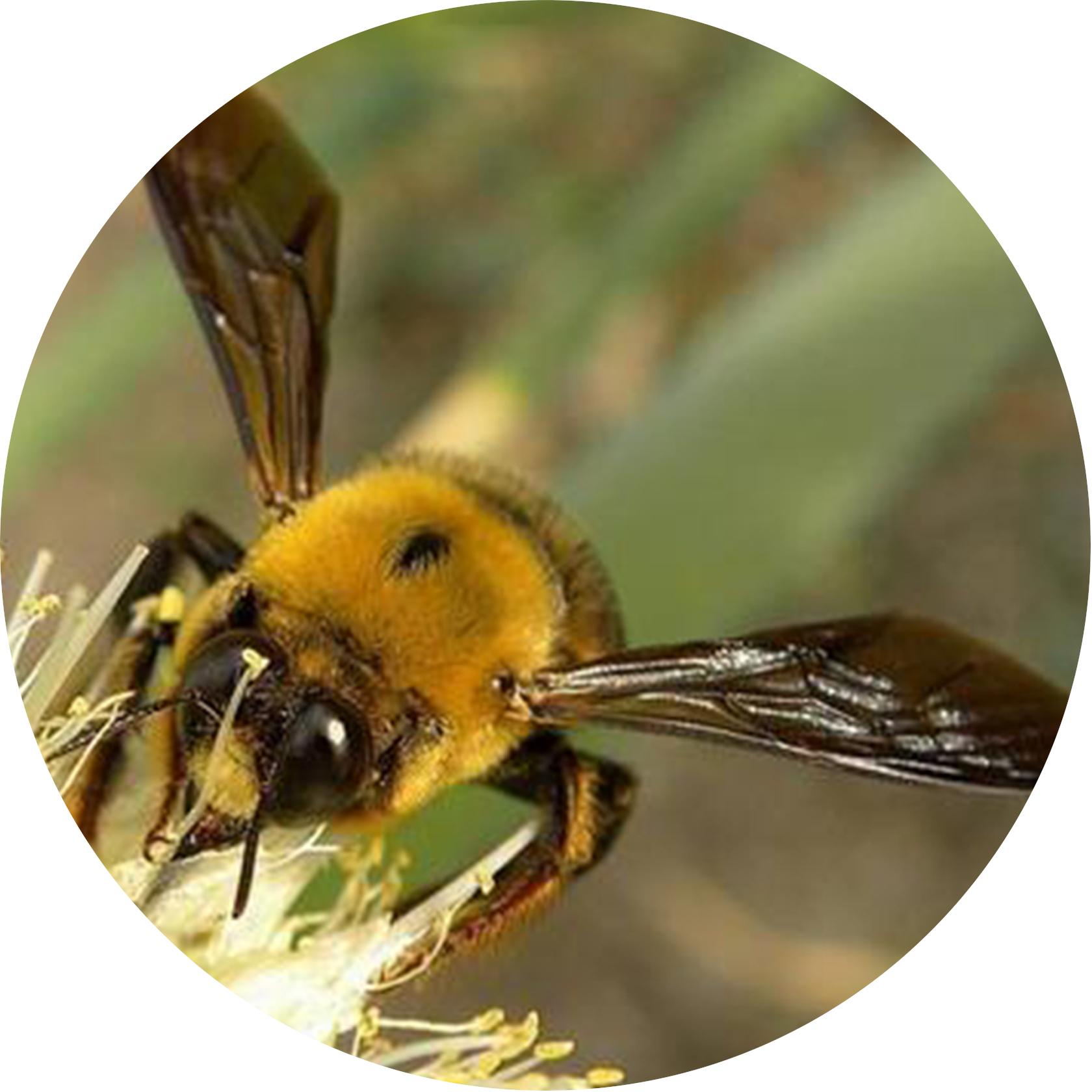 壁    蜂
