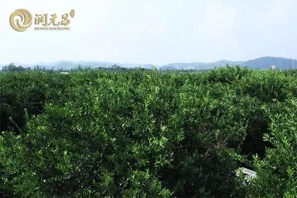 润元昌柑普茶44陈皮普洱茶-9