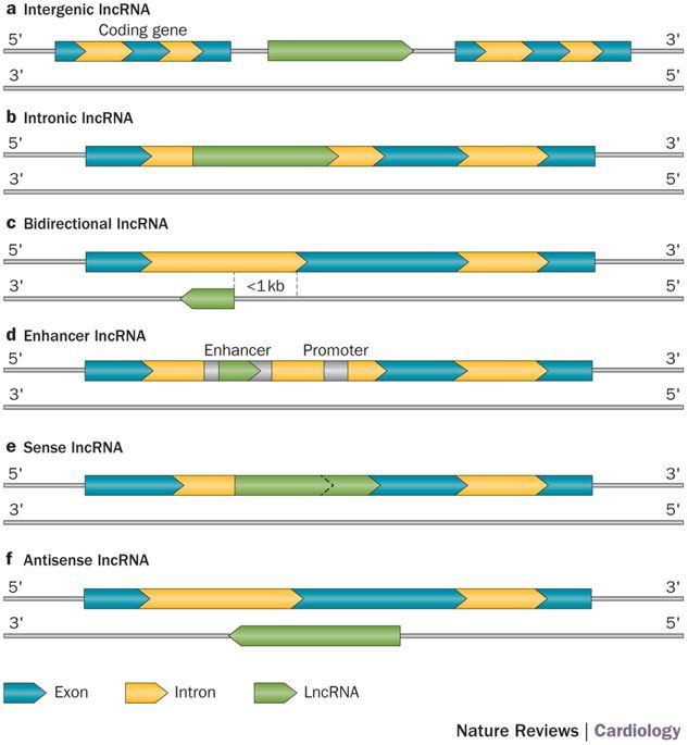 lncRNA分類