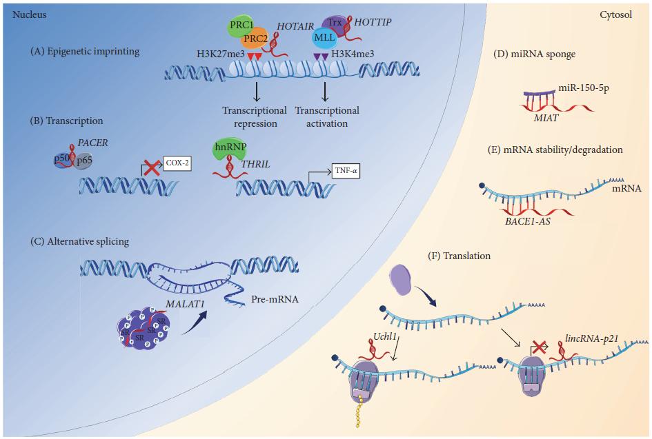 lncRNA调控机制图