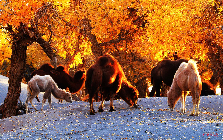 弱水胡楊-沙漠駱駝