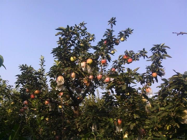 桃樹果園2