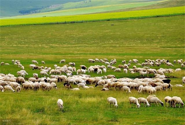 520羊糞1