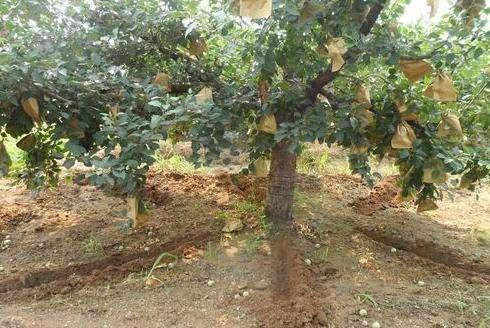 521果樹施肥2